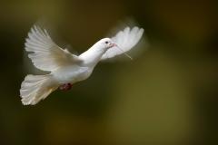Beautiful-High-Flying-Pigeons-Pics
