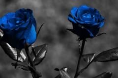 Blue-Rose-Flower-Nature-HD-Wallpaper