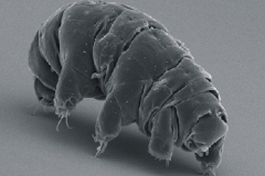 SEM_image_of_Milnesium_tardigradum_in_active_state_-_journal.pone_.0045682.g001-2